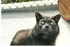 Gracie is an adoptable Domestic Medium Hair Cat in Forked River, NJ.  Gracie 7 years old. Queen of the female roaming area. She would do best as an only cat. No small children.  If interested please v...