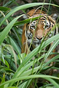Malayan tiger, Connor, plotting his next move.