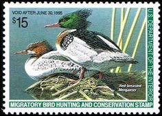 Blue Moon Philatelic Stamp Store - US RW61 Stamp Red-Breasted Mergansers Duck Stamp US RW61-2 MNH, $24.95 (http://www.bmastamps2.com/stamps/united-states/us-rw61-stamp-red-breasted-mergansers-duck-stamp-us-rw61-2-mnh/)