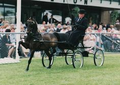Hackney Horse | we currently specialise in training hackney horses and ponies for the ...
