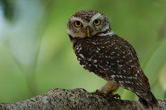 Spotted Owlet (Athene brama) - Picture 1 in Athene: brama - Location: Bandhavgarh National Park, Madhya Pradesh, India. Photo by Saleel Tamb...