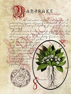 Mandrake-page (a_granger) Tags: Magic Herbs, Herbal Magic, Wicca Witchcraft, Wiccan, Imprimibles Halloween, Halloween Spells, Halloween Forum, Witch Herbs, Illustration Botanique