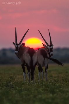 Oryxes...Sunrise at Central Kalahari Game reserve, Botswana  (by cantay gok on 500px)