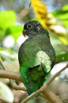 Red billed parrot (Pionus sordidus)