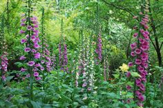 Foxglove in the Spring
