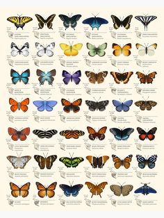 Butterfly Discover Butterflies of North America Photographic Print by Eleanor Lutz This chart is a set of decorative species illustrations of 42 North American butterflies. :) Millions of unique designs by independent artists. Find your thing. Art And Illustration, Illustrations, Butterfly Illustration, Types Of Butterflies, Beautiful Butterflies, Drawings Of Butterflies, Butterfly Drawing, Butterfly Painting, Butterfly Species