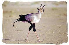 Secretary bird - Sirheni Bushveld Camp, Kruger National Park