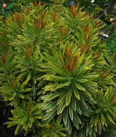 Euphorbia 'Ascot Rainbow' Photo: @Katherine Tracey