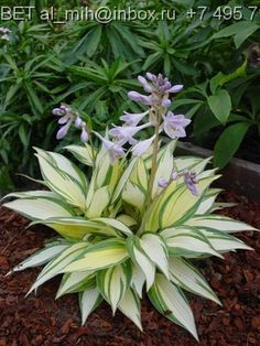 Hosta U0027Remember Meu0027. Another Hosta For My Wish List. Nice To Plant In  Memory Of Someone!
