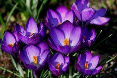 crocus   Crocus vernus (Crocus à grandes fleurs) - Arrosoirs et Sécateurs