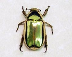 41772c02084a Shiny Green Jewel Leaf Beetles Real Framed by REALBUTTERFLYGIFTS Leaf Beetle