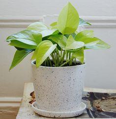Love my neon pothos! Neon Pothos, Cactus, Pothos Plant, Types Of Knives, Cold Brew Coffee Maker, Office Plants, Green Plants, Plant Decor, Houseplants