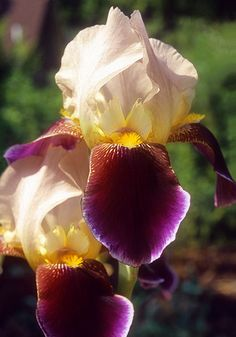 """Shah Jehan Bearded Iris, 1932.  """" 'Opulent', 'gorgeous', 'magnificent', 'an extravaganza of color' — iris lovers for decades have been babbling about the breath-taking beauty of 'this jewel among irises.' A spectacular blend of champagne, gold, chestnut, and an unbelievably rich, velvety plum, it's well named for the great Mughal emperor who built . . . the Taj Mahal. 36-40"""", zones 3a-8a(10aWC), from Ann Arbor."""" oldhousegardens.com"""