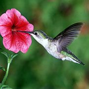 flowers that attract hummingbirds | Attracting Hummingbirds - What Are The Best Flowers And Plants