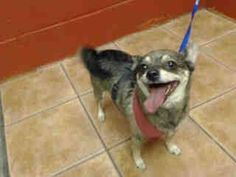 PLEDGES NEEDED FOR RESCUE!  My name is Brook and I'm an approximately 4 year old female chihuahua sh. I am not yet spayed. I have been at the Downey Animal Care Center since November 21, 2014. I am available on November 26, 2014. You can visit me at my temporary home at D515. https://www.facebook.com/photo.php?fbid=762875450459456&set=a.621812584565744&type=3&theater