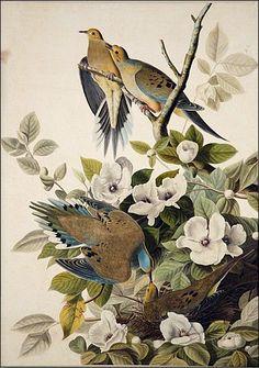 Carolina Pigeon, Mourning Dove by John James Audubon