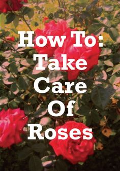 Find out the best ways to care for roses this summer.
