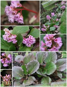 Bergenia is quick to fill in a forgotten corner of the garden or adds low maintenance beauty under trees.  Plus it blooms here (some years) from February to November.  In bloom now in the Garden Therapy gardens.