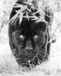 Black Jaguar by Colin Langford on Panther Tattoos, Black Panther Tattoo, Jaguar Tattoo, Tiger Tattoo, Lion Head Tattoos, Lion Forearm Tattoos, Tattoo Pantera, Jaguar Panther, Jaguar Animal