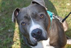 Too cute! Chaz- loves to give & receive affection. Quite a character & is an adoptable Staffordshire Bull Terrier Dog in Voorhees, NJ. Chaz is an easy going affectionate boy who sometimes forgets how big he is. The Animal Orphanage, Voorhees, NJ
