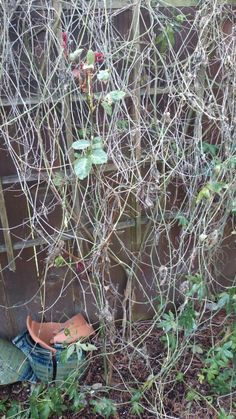 Tangle of roses, clematis and?