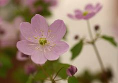 pink Anemonella thalictroides Amelia