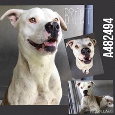 **SHELTER FULL/RUNNING OUT OF TIME** I am a male, brown brindle and white Pit Bull Terrier mix. I am 2.5 years old. I have been at the shelter since May 29, 2015. For more information about this animal, call: San Bernardino City Animal Control in CA at (909) 384-1304. Ask for information about animal ID number A482494.