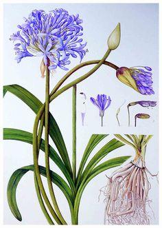 Agapanthus Afrikaanse Lelie