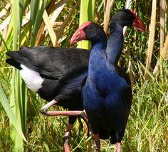 This photo from the TrekNature travel gallery is titled 'Porphyrio melanotus Photo'. Kiwiana, All Things New, Australian Animals, Budgies, Wild Birds, Bird Feathers, New Zealand, Nature, Creatures