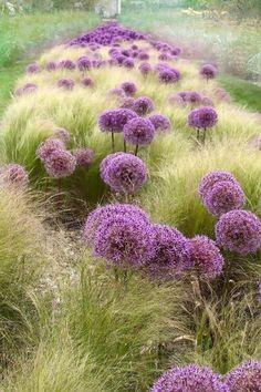 Giganteum Allium paired with grasses