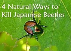 4 Natural Ways to Kill Japanese Beetles in the Garden from Condo Blues- I hope I can get these buggers before they attack my raspberries! Garden Bugs, Garden Insects, Garden Pests, Sarah's Garden, Garden Fertilizers, Plant Pests, Garden Works, Garden Club, Summer Garden