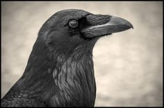 Photo Portrait of a Raven by Michelle B on 500px