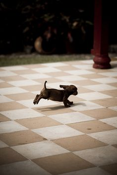 Dachshund puppy, by julkastro in flickr  -- It's pictures like this that kill me with cute.