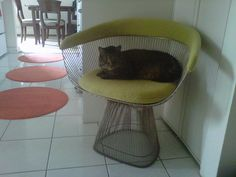 Cat on the Saarinen executive armchair. Cat paradise.