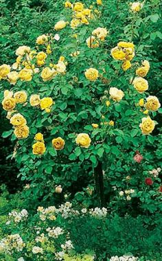 Schwelgen Sie in traumhaften Farben -  Mit der Blütenpracht der Rosen können Sie einzigartige Gartenlandschaften gestalten. Wir geben Ihnen Tipps, welche Kombinationen am besten zueinander passen.