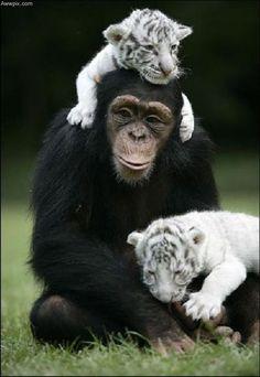 Chimp & His Lil' Tiger Buddies - Cute !