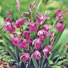 Hardy orchid, full shade