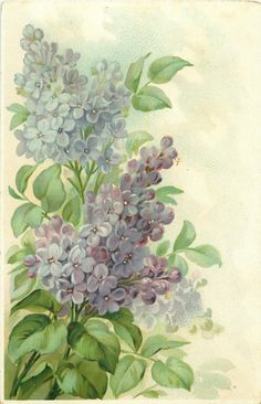 purple/blue lilac flowers in two distinct sprays, stems to left - vintage postcard