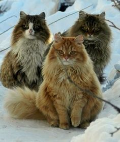 Originating in Norway, this breed is built for cold climates. Their fur is waterproof and double insulated to help them withstand harsh weather during their native Scandinavian winters.