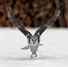 STRANGE LOVECKÉ ZKUŠENOSTI - SNOW OWL NABS myši v sněhovém poli