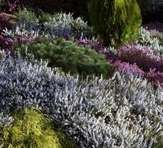 Heather: Plant of the month.