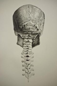 Human skull posterior and cervical spine anatomy drawing.