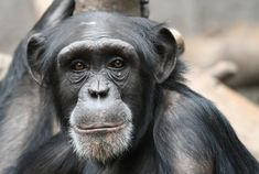 Turns out, chimpanzees, thought to be selfish, show altruistic behaviors.