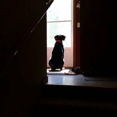 Early morning duty.  #blackandtan #coonhound #minnesotalove #memories #centralmnphotographer #OnlyinMN #captureminnesota #exploreminnesota #thisismyminnesota #viewbug #grayfacesarebeautiful #stcloud #photography #watchdog #guarddog #alwaysonduty by heatherschmittphotog