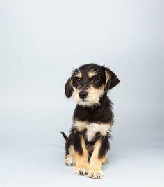 """Opie (14 week) Schnauzer/ Terrier Mix says his favorite cartoon is """"Marmaduke."""""""