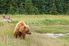 brown bear walking - A large brown bear walking through some grass