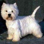 My future dog! West Highland White Terrier.