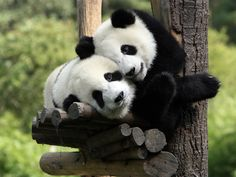 Giant Pandas cuddling at Wolong. Photo by xn    http://www.lovethesepics.com/2012/04/buckets-of-cute-pandas-at-sichuan-giant-panda-sanctuaries-42-photos/