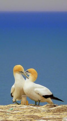 Gannet Colony at Cape Kidnappers in Hawke's Bay