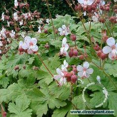Geranium Macrorrhizum 'spessart'. Hoogte30 cm.Niet snoeienJaZonJaHalf SchaduwJaSchaduwJaBlijft 's winters groenJaBodem dekkendJaGeurendJaAantal per vierkante meter5Bloeitijdmei, juni, juliBloeikleurwit